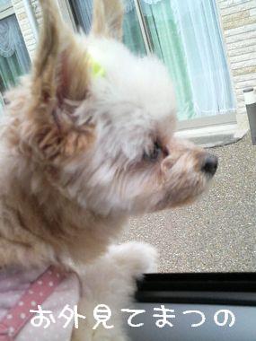 外を見るフリする犬