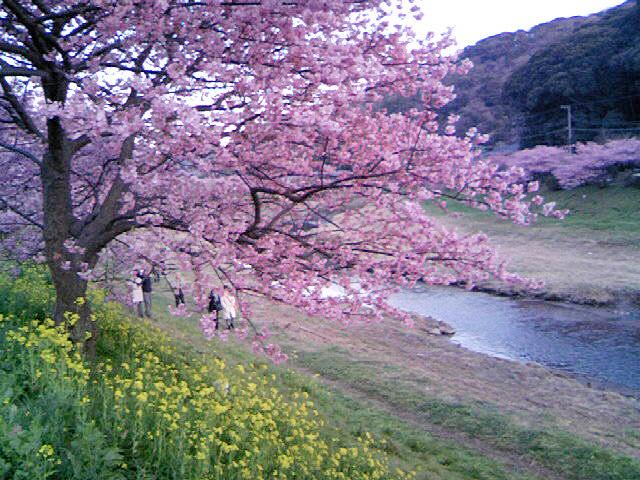 20みなみ桜