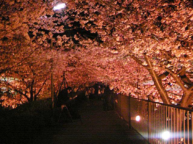 21かわづ桜