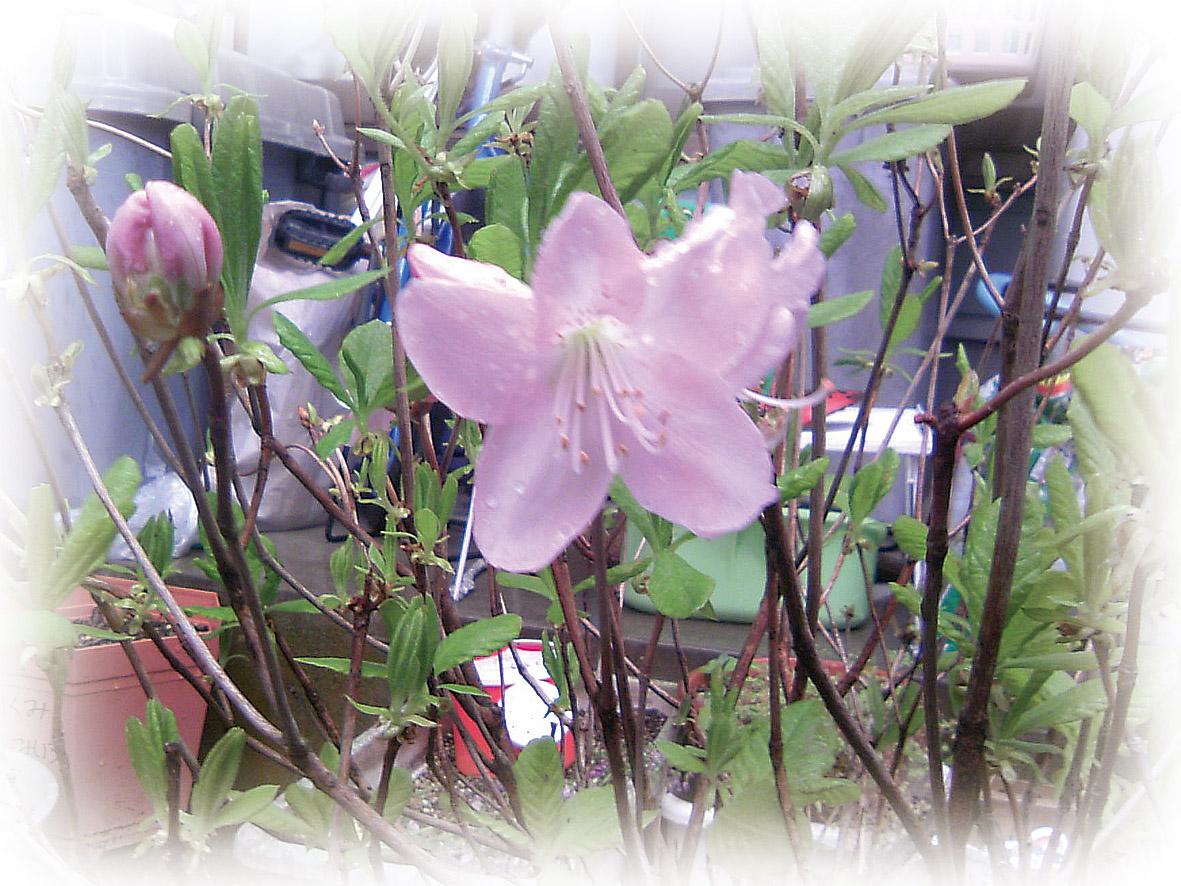 クロフネツツジ開花