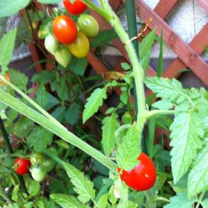 tomato_01_convert_20110804100355.jpg