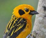=Golden Tanager