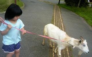 ヤギさんの散歩