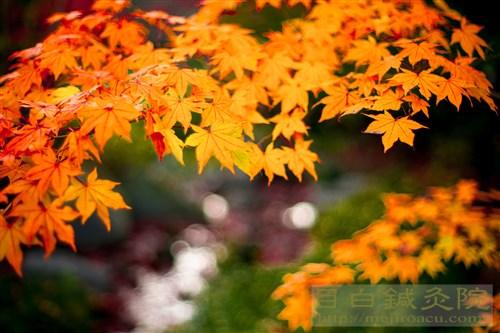20141119昭和記念公園紅葉4