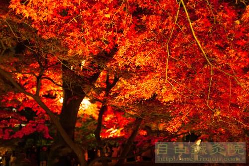 20141130大田黒公園夜もみじ1