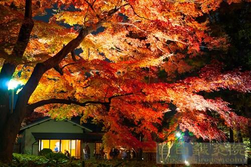 20141130大田黒公園夜もみじ6