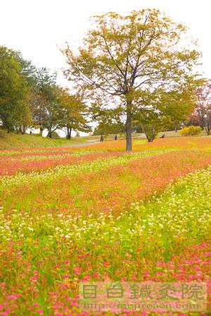赤ソバ 昭和記念公園2013 紅葉11月