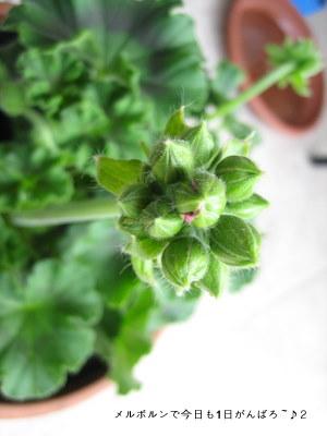 4oct geranium