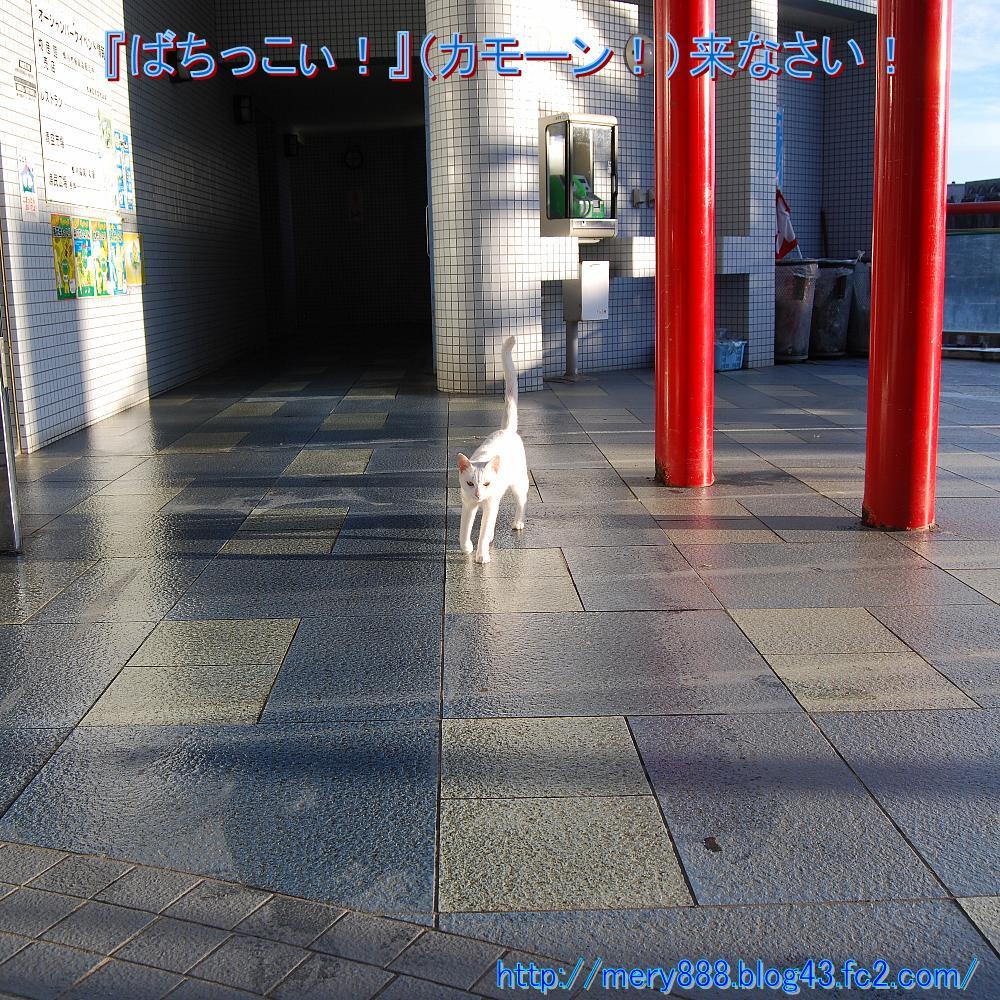 白い猫003