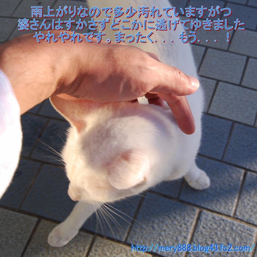 白い猫004
