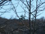 明神峠の松