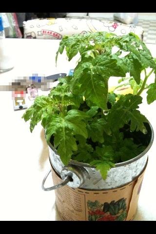 トマト成長5月30日