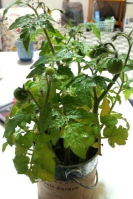 トマト成長6月画像1