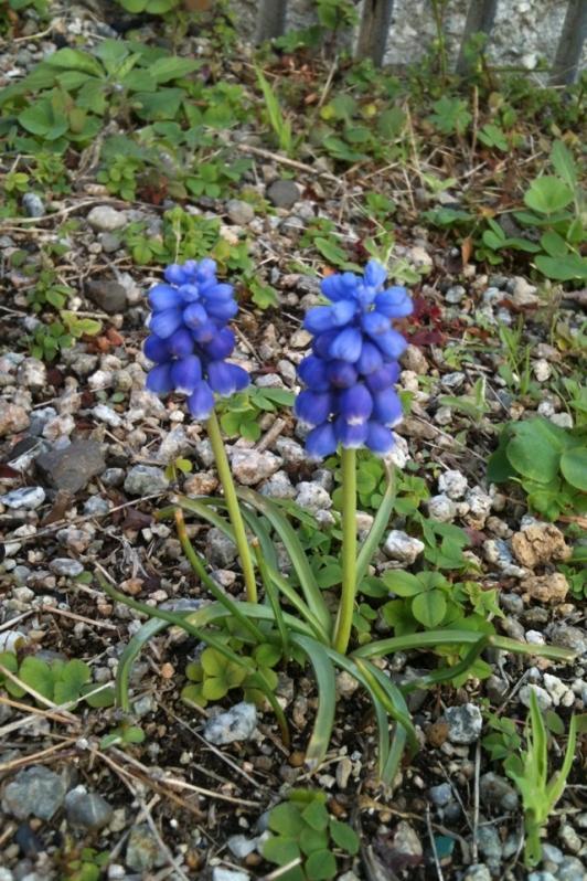 庭の花ムスカリ