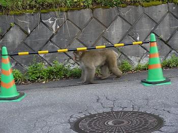 猿がのっし、のっし。
