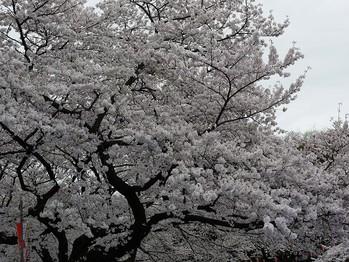 上野公園にて花見