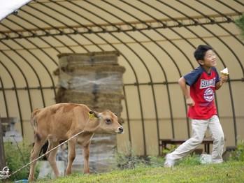 ジャージィー牛と遊ぶ子供