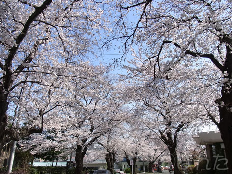 2012桜_5