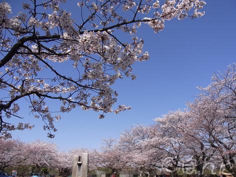 2012桜_4