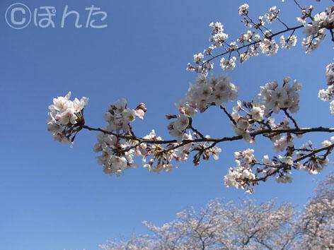 2012桜_3