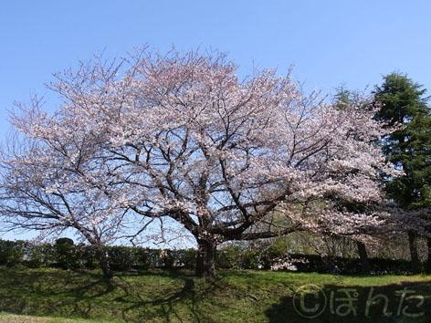 2012桜_2