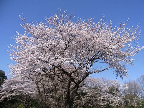 2012桜_1