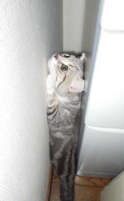 縦ハマリ猫
