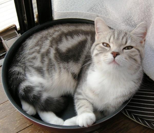変ガオフライパン猫