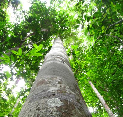 マリマリの樹-2