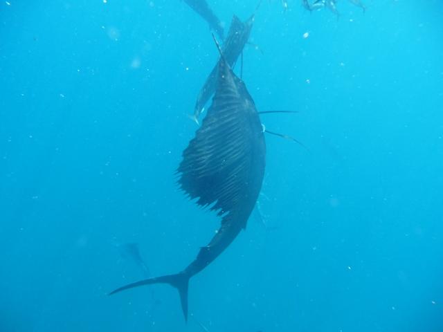 頭上の魚玉を突きまくるカジキ