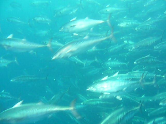 何万匹もの小型ツナの渦巻く滝に巻き込まれ体に魚が激突