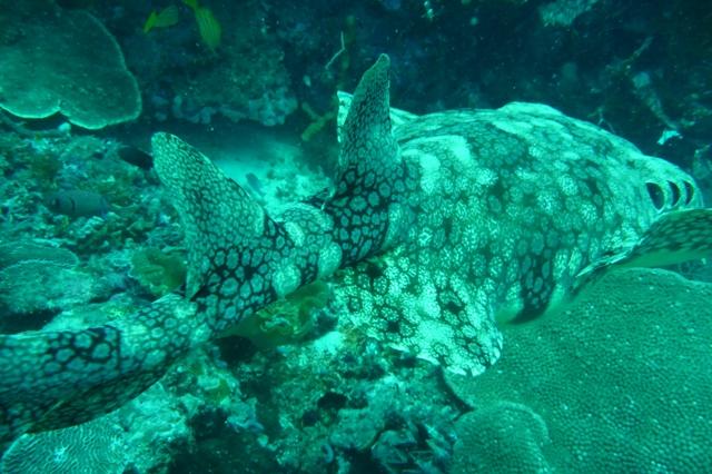 Wobbegong Shark後ろ姿