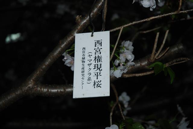 クローンによる権現平桜(山田先生)