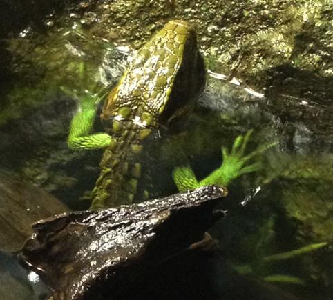 水浴中のカイマントカゲ