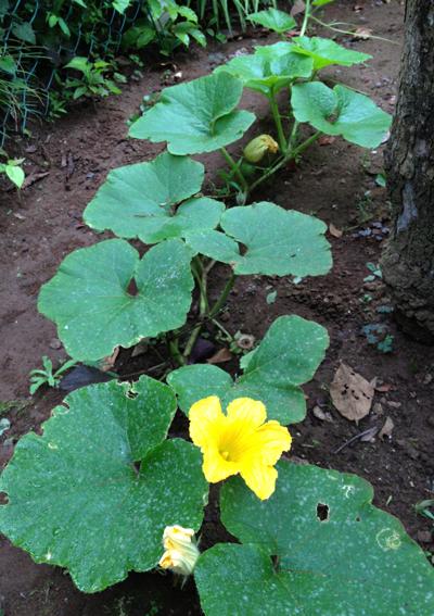 カボチャの花と実