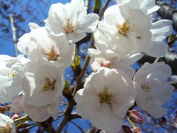 桜(先崎3)