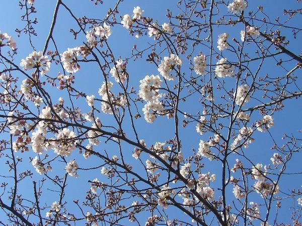 桜(先崎1)