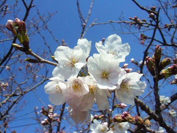 桜(先崎2)