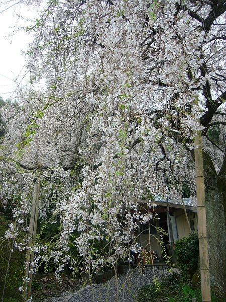 枝垂れ桜縦1