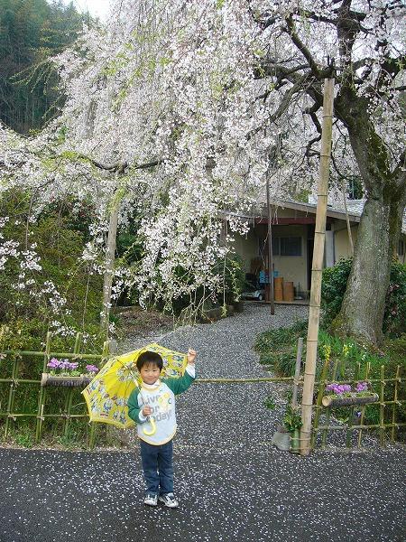 枝垂れ桜と空