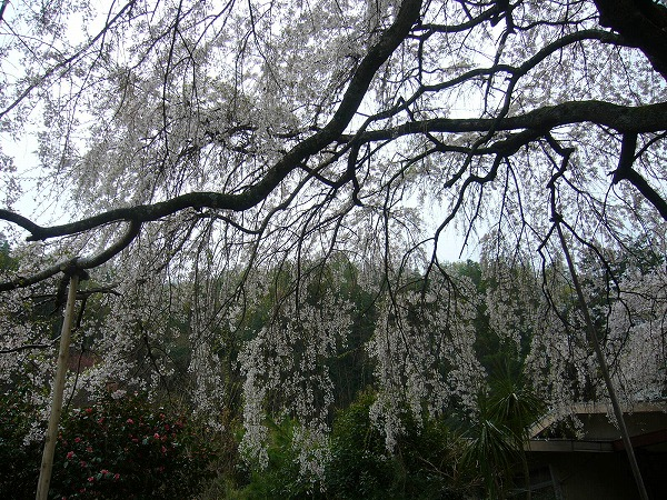 枝垂れ桜横2