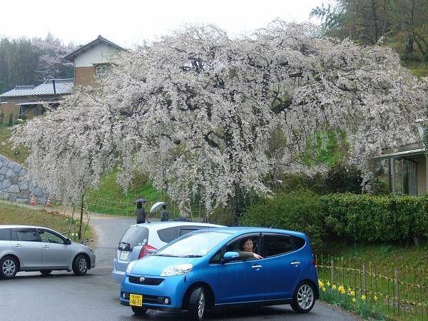 枝垂れ桜横1