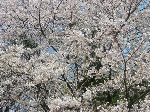 降りてきたら桜