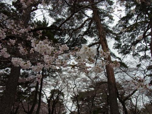 110403-091桜2(縮小)