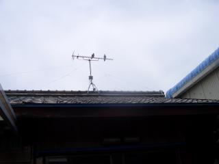 テレビアンテナに休憩する鳩
