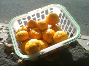収穫した柚子