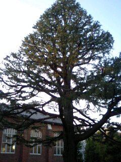 ヒマラヤ杉.jpg