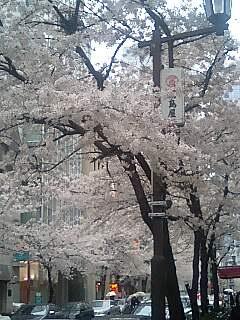 日高桜①.jpg