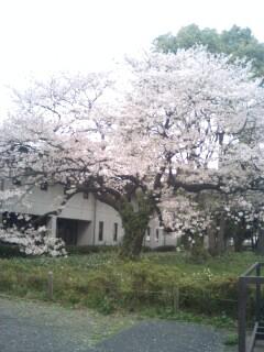 自然教育園桜①.jpg
