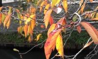 真間川桜紅葉